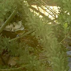 ミモザ/ガーデニング/メジロ 可愛い訪問鳥🎵  ミモザにメジロが2ペア…