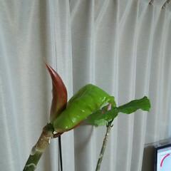 ガーデニング/ウンベラータ ウンベラータ♪ 毎日葉っぱが成長するのが…(4枚目)