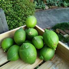 レモン レモン収穫です🎵