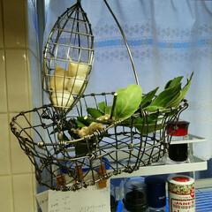 キッチングッズ/収納 キッチン  ニンニクとオリーブの葉  す…