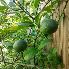 ガーデニング/レモンの木 レモン🎵 今年は少し収穫できそう~ 一度…