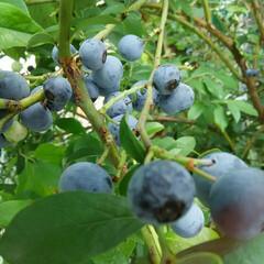ブルーベリー ブルーベリー収穫🎵