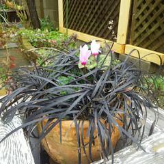 ガーデニング 今日の花たち  夕方に雨が上がってモカと…