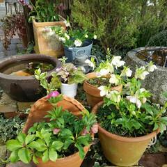 クリスマスローズ/ガーデニング 今日の花  夕方に雨がやんで庭の草取り …