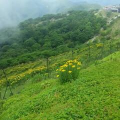 登山/伊吹山の花 伊吹山🎵 花の百名山にふさわしくたくさん…(7枚目)
