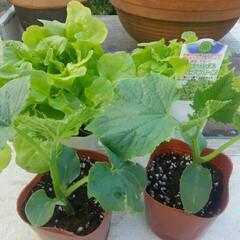 家庭菜園 家庭菜園  レタスとキューリ植えます🎵
