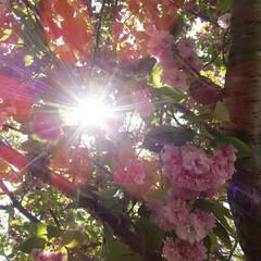 ギョイコウ桜 ギョイコウ桜、 淡いうす緑の花は最後にピ…