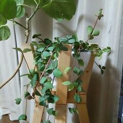 観葉植物 リビングの植物たち🎵