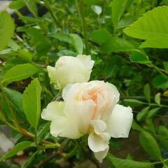 ガーデニング 我が家の庭の花  もうすぐバラが咲きそう🎵