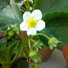 ガーデニング/イチゴ イチゴの白い花