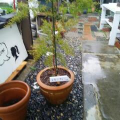 レモンの木/ガーデニング レモンの木♪ 鉢を大きくした、 この前に…(1枚目)