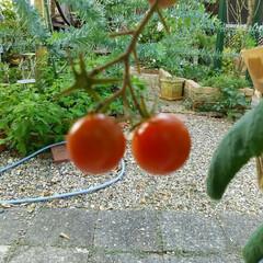 ミニトマト/家庭菜園 ミニトマト🎵 プランターでも作ってみまし…