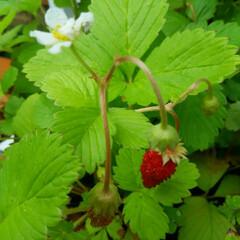 イチゴ イチゴ🎵 また咲いてくれました、 今日は…