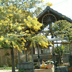 ガーデニング/ミモザ ミモザ  2006年の我が家のミモザ  …