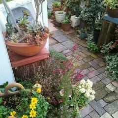 ガーデニング 今朝の庭 多肉ちゃんも無事に冬を越しまし…