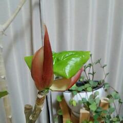 ガーデニング/ウンベラータ ウンベラータ♪ 毎日葉っぱが成長するのが…(1枚目)