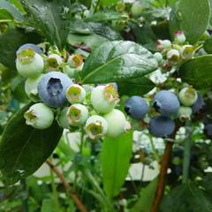 ガーデニング/ブルーベリー ブルーベリー収穫🎵