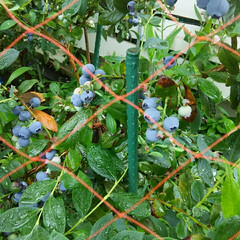 ガーデニング 今朝の庭🎵 ブルーベリーがいよいよ収穫出…(2枚目)