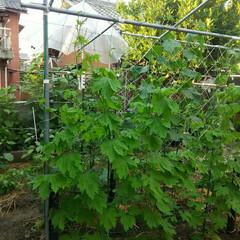 トマト/家庭菜園 家庭菜園🎵 トマトは傘要ります~ これで…