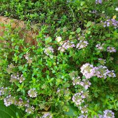 ガーデニング 今朝の庭の花たち🎵 もうすぐアジサイが咲…(1枚目)