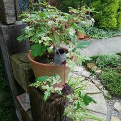 ガーデニング 斑入り野ブドウ🎵 初夏の葉っぱの可愛い色~(1枚目)