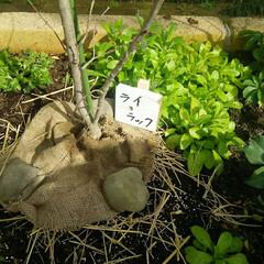 ガーデニング 植栽完了  ホームセンターで腐葉土、たい…(2枚目)