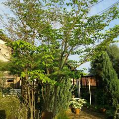 シンボルツリー/ヤマボウシ/ガーデニング ヤマボウシ  我が家のシンボルツリー も…(2枚目)