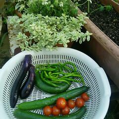 家庭菜園 今朝の収穫🎵