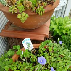ガーデニング 今朝の庭🎵 ブルーベリーがいよいよ収穫出…(1枚目)