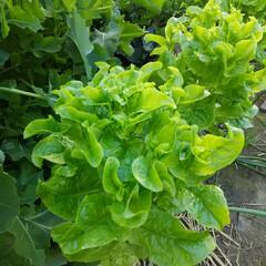 家庭の味 家庭菜園  自給自足しています🎵
