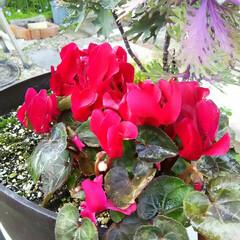 ガーデニング 今日の庭に咲く花♪(3枚目)
