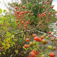 秋の実/シャリンバイ/ノイバラ 秋の実🎵  昼休みに堤防を散歩して発見 …(2枚目)
