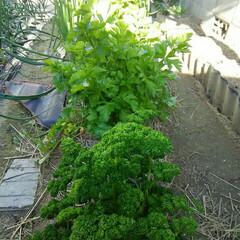家庭の味 家庭菜園  自給自足しています🎵(2枚目)