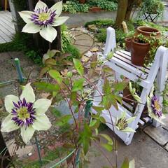 ガーデニング 今朝の我が家の花🎵 ゆず、バラ、クレマチ…