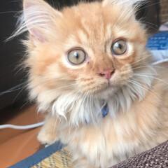 猫のいる暮らし/マンチカン短足/はじめてフォト投稿/LIMIAペット同好会/にゃんこ同好会/うちの子ベストショット #うちの子ベストショット · もふぞう …(3枚目)