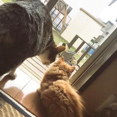 猫のいる暮らし/マンチカン短足/にゃんこ同好会/うちの子ベストショット #うちの子ベストショット · 左☞くう(…
