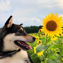 ひまわり/柴犬/黒柴/おでかけワンショット/夏/夏の思い出/... #おでかけワンショット  ぼくのはじめて…