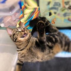 ミヌエット/猫/うちの子ベストショット/癒し/自慢/うちの子ワンショット/... 遊ぶの大好き!✨ 下の牙が可愛いんです🐈