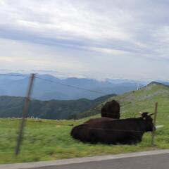 四国カルスト、山、牛、助手席、絶景/おでかけワンショット 四国カルストへお出かけ。車内の助手席から…