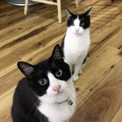 ねこ/ネコ/猫/保護猫/元野良猫/白黒/... 白黒ねこ2匹の 記念写真 写真あるある …