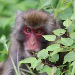 LIMIA/長野県/駒ヶ岳/中央アルプス/日本猿/猿/... 長野県に家族旅行!!中央アルプス駒ヶ岳に…