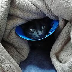 黒猫/うちの子ベストショット ごっくんです。ケガをしてしまいカラー生活中