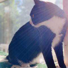 オレオ/キャットタワー/光/猫/朝/美人/... 毎朝、ここから日光浴をして1日をスタート…