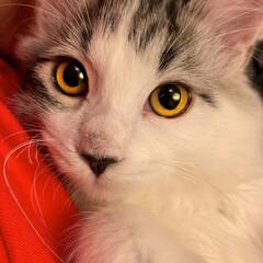 猫/子猫/ノルウェージャンフォレストキャット/かわいい/うちの子ベストショット しぐれくんです。 性格は甘えん坊でやんち…(1枚目)