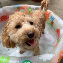 プール/犬 あまりにも暑いのでくぅちゃんをプールに入…