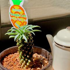 観葉植物/パイナップルコーン 久々の太陽☀️ 水浴びと日光浴だー(°▽…