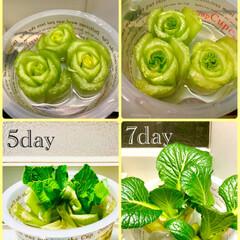 観葉植物/水栽培に挑戦/リサイクル/キッチン 小松菜🥬成長いたしました(´∀`) 目に…