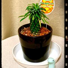 パイナップルコーン/観葉植物 パイナップルコーン❤️ もぉ、置いてるだ…