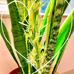 サンスベリアの花/開花宣言/サンスベリア/ナチュラル/観葉植物 ついに! サンスベリア開花宣言٩( 'ω…