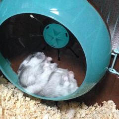 ジャンガリアンハムスター/うちの子ベストショット ぐっすり熟睡中のはむちゃん